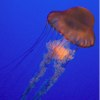 jellyfish in tank with blue background